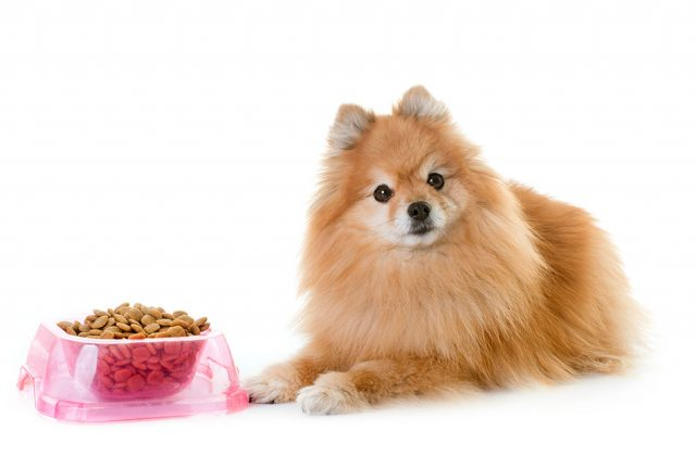 ポメラニアン老犬