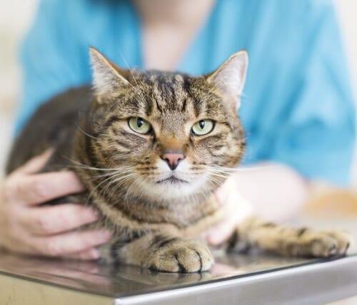 【去勢後・避妊手術後の猫の餌!】人気のおすすめキャットフードTOP5