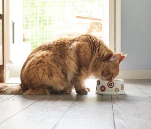 腎臓サポート用の餌!腎臓が弱い猫におすすめのキャットフード5選!